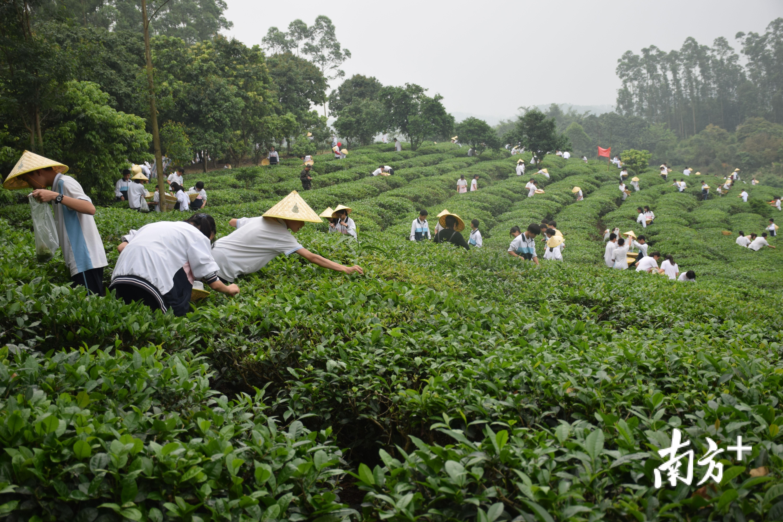 茶产业发展兴旺,鹤山乡村游人气越来越高。