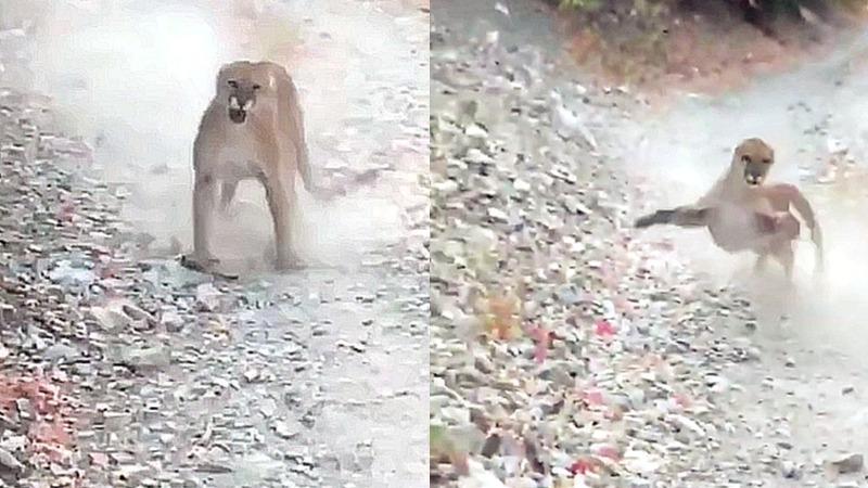 男子野外徒步被美洲狮跟踪袭击 惊恐大吼扔石头自救