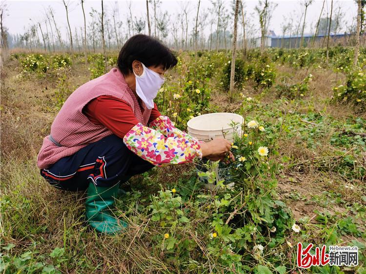 图为景林林木种植专业合作社工人在采摘菊花。
