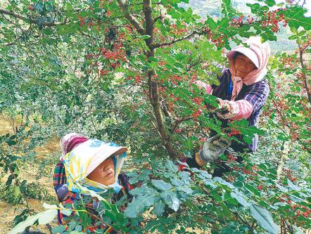 秦安县近年来大力种植花椒,花椒被誉为当地农民的致富果。