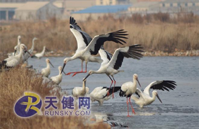 良好的生态环境吸引东方白鹳前来过冬