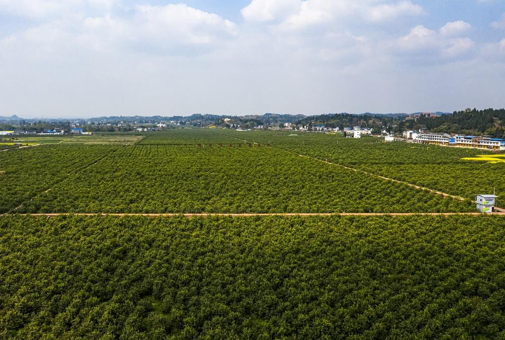 潼南柠檬种植基地 潼南区委宣传部供图