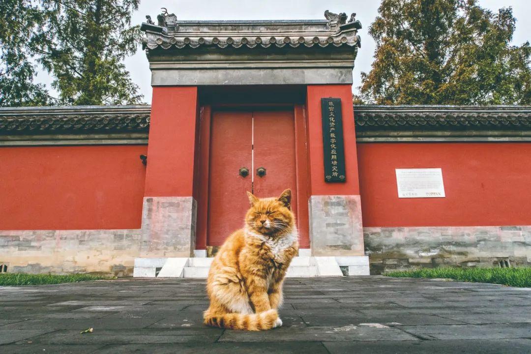 △ 2017年10月9日,北京,故宫博物院里的流浪猫。每只猫都戴有刻着自己名字的猫牌。/视觉中国