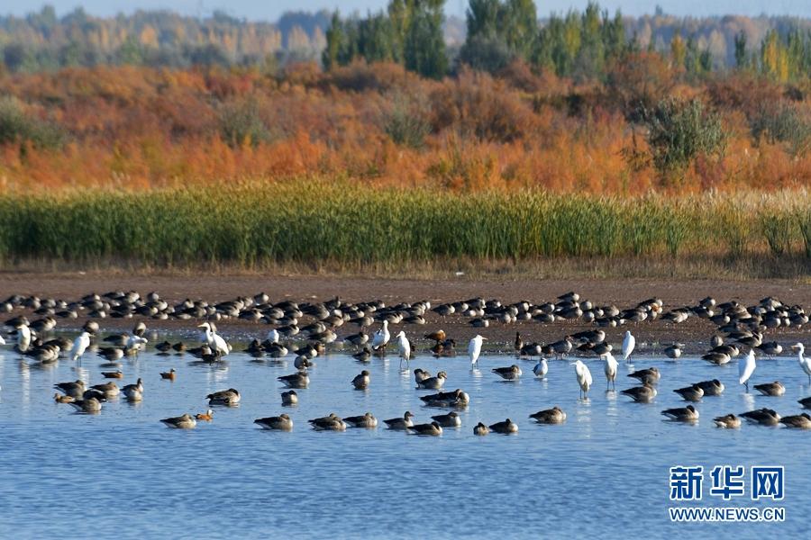 秋到张掖黑河湿地 候鸟翔集碧波漾