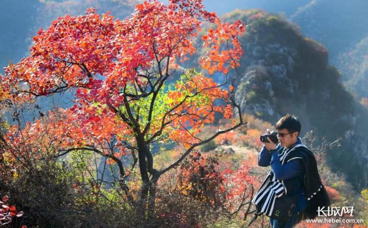 游客拍摄美丽的红叶。