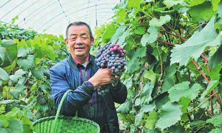 延河镇万宝村秋实果蔬家庭农场的葡萄熟了。