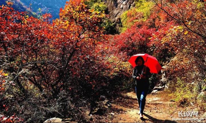 观赏红叶的游客漫步在山间。