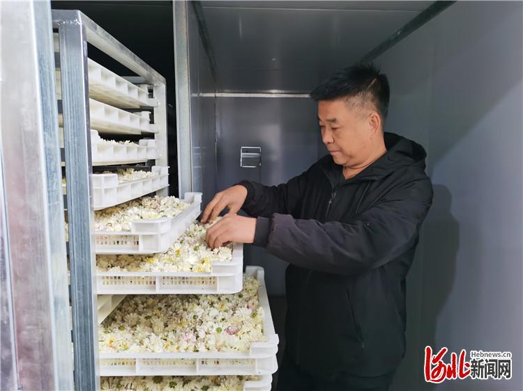 图为景林林木种植专业合作社工人检查烘干前的菊花是否有异物。