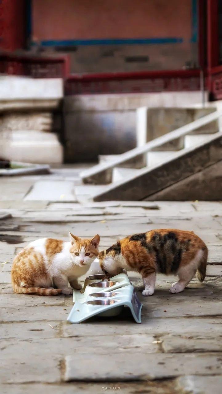 △ 正在进食的故宫猫/图虫创意