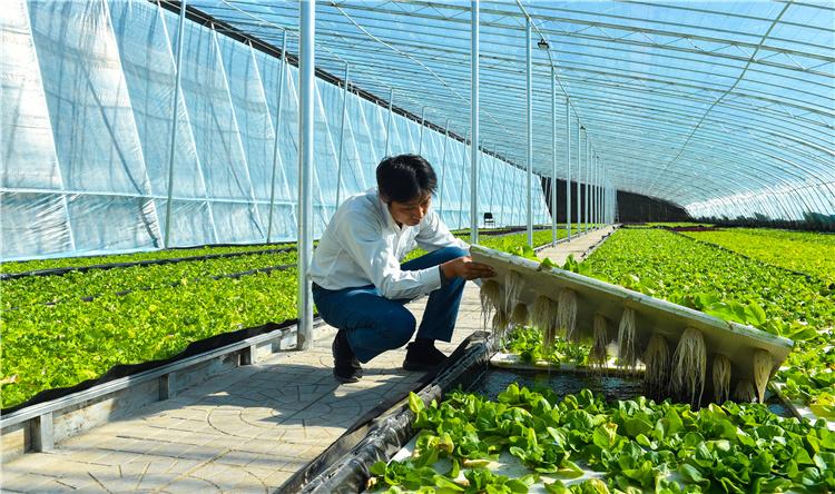 10月17日,工作人员在查看水培蔬菜的长势。德胜村与北京纯源青华科技公司合作,建成7个日光温室大棚种植水培蔬菜。河北日报记者耿辉摄