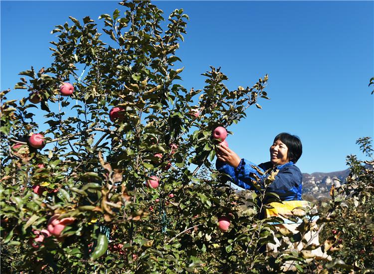 10月17日,阜平县顾家台村村民冯海花在果园采摘苹果。 河北日报记者史晟全摄