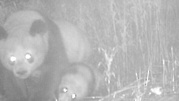 【彩乐园3登录】_四川拍到大熊猫母子同框珍贵瞬间
