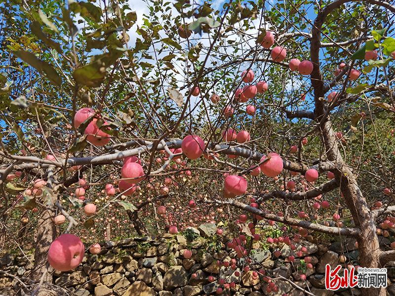 内丘县岗底村苹果即将迎来丰收。河北日报记者潘文静摄