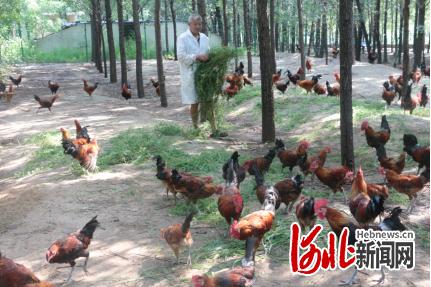 """武邑县京东""""跑步鸡""""基地,饲养员正在喂食""""跑步鸡""""。"""