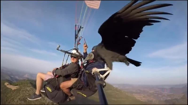在玩滑翔伞的时候一只秃鹰突然停在了自拍杆上