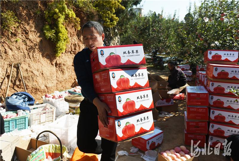 2020年10月24日,在河北省邢台市内丘县侯家庄乡岗底村果园,游客在搬运装好的苹果。河北日报记者史晟全摄影报道