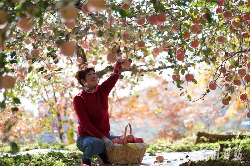 2020年10月23日,果农在河北省邢台市内丘县侯家庄乡岗底村果园收获苹果。河北日报记者史晟全摄影报道