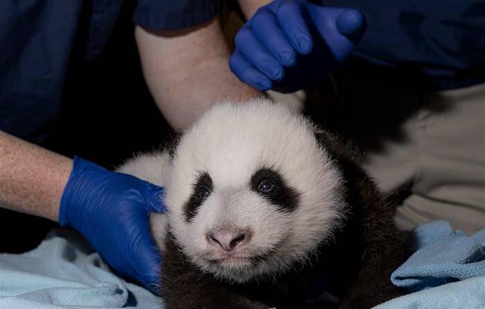 """旅美大熊猫""""美香""""被照顾不周?华盛顿动物园回应"""
