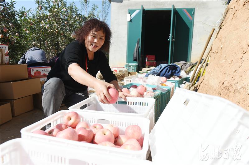 2020年10月24日,在河北省邢台市内丘县侯家庄乡岗底村果园,游客将采摘的苹果装箱。河北日报记者史晟全摄影报道