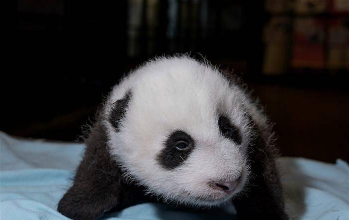 """当地时间10月29日,美国华盛顿国家动物园对外表示,旅美大熊猫""""美香""""产后食欲已恢复正常,新生雄性幼崽茁壮成长,已经""""胖了一圈""""。图为10月21日拍摄的""""美香""""新生幼崽。"""