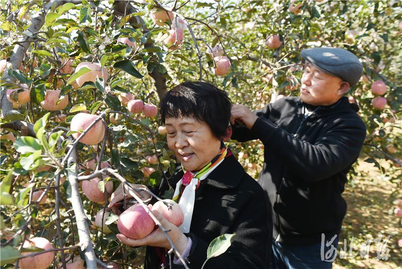 2020年10月24日,在河北省邢台市内丘县侯家庄乡岗底村果园,游客在采摘苹果。河北日报记者史晟全摄影报道
