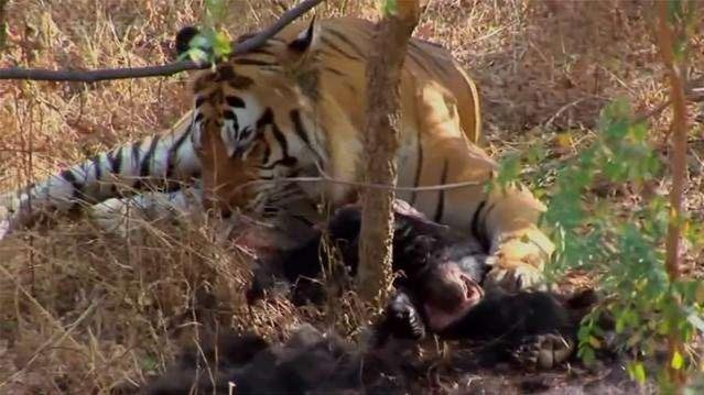 黑熊被老虎猎杀!小兴安岭首次找到东北虎吃熊的证据