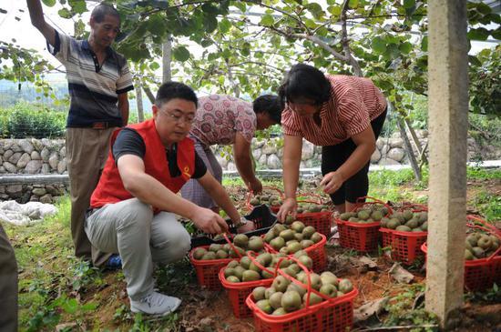 淤弓村贫困户在观光园进行猕猴桃采摘、分拣工作。 丽水市烟草专卖局 供图