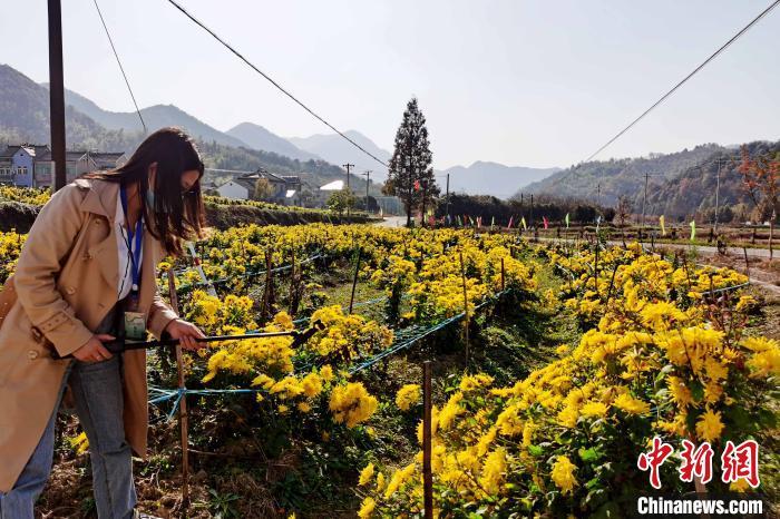 霭里村发展菊花种植产业,增加村集体经济,带动村民致富。 张强 摄
