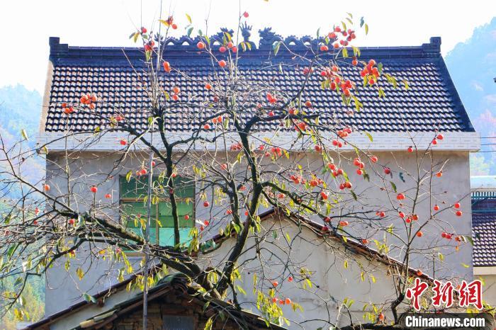 秋末冬初,霭里村的柿子熟了。 张强 摄