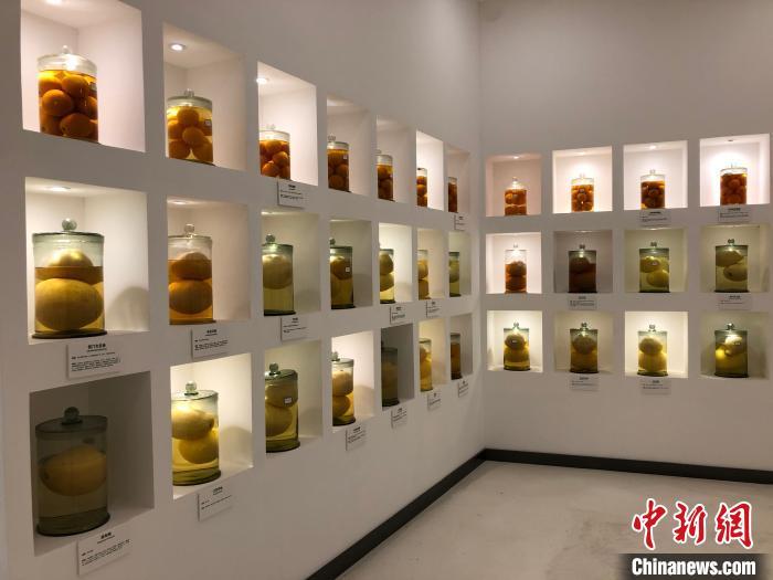 图为位于忠县的柑橘文化时空馆内展示的柑橘标本。 钟旖 摄