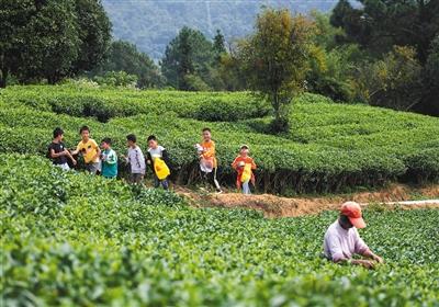 10月28日,江口村茶园,茶农在采茶,远处是放学回家的孩子们。