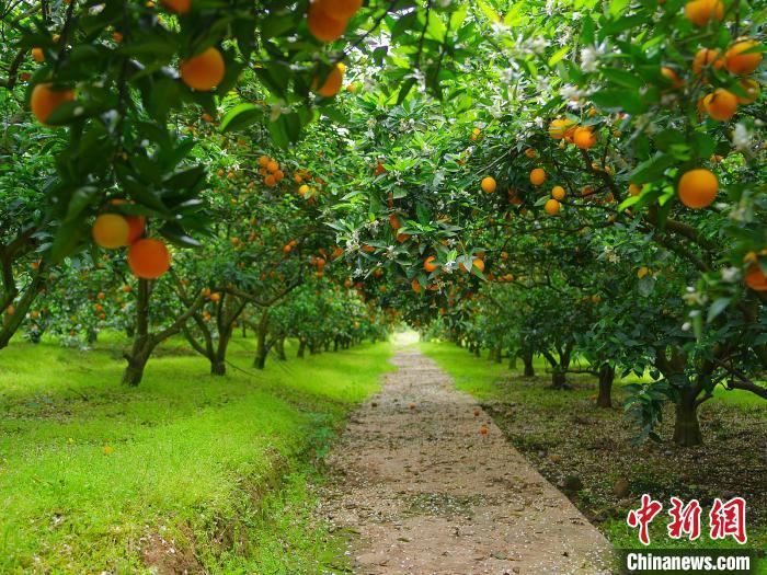 图为柑橘品种博览园。 派森百 摄
