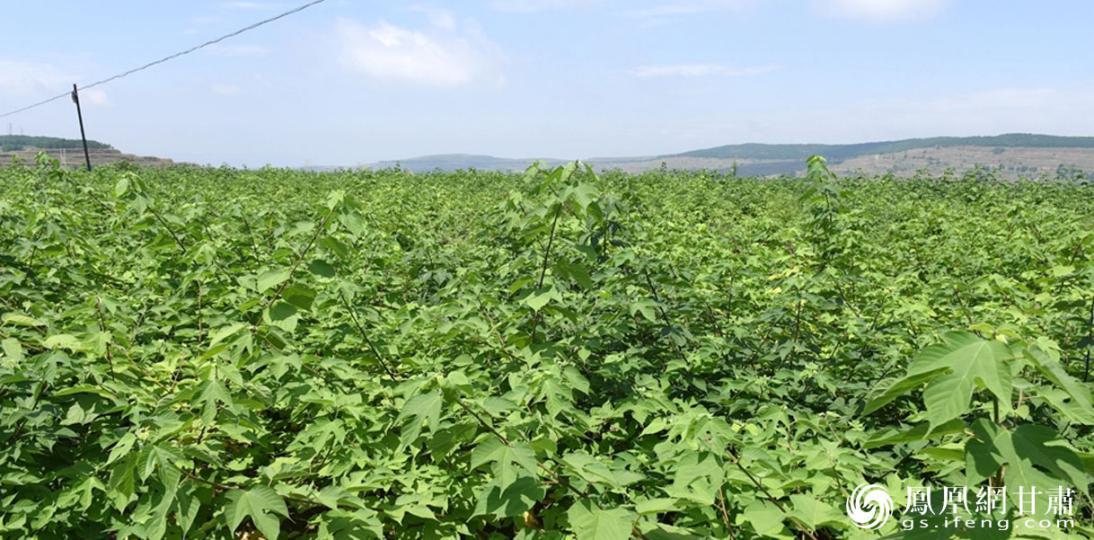 天水供销构树生物投资(集团)有限公司培育杂交构树产业,带动560多户农民增收。甘肃省供销联社供图