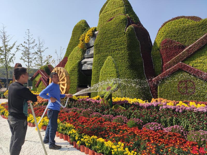 ▲園林工人每天爲菊花澆一次水,讓菊花保持盛開的狀態。