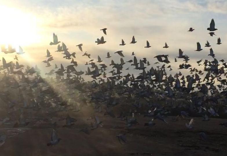 ↑比赛中的鸽群
