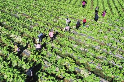 村民们采摘青菜头。彭水自治县融媒体中心记者 赵勇 摄影