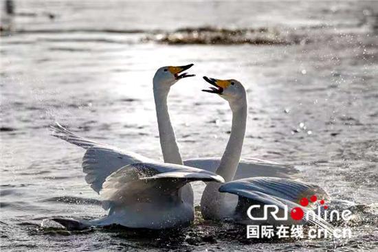 """白天鹅为辽宁北票带来""""天鹅经济"""" 成为当地特色风景"""