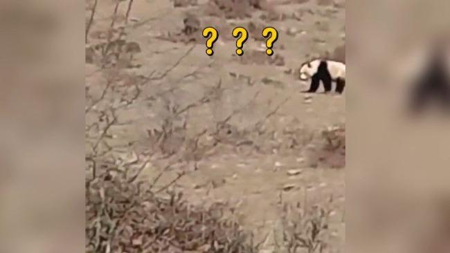 """四川村民发现野生大熊猫 向它叫""""大哥"""""""