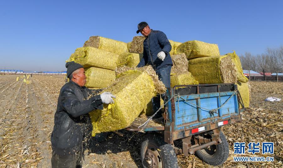 11月5日,在吉林省松原市宁江区善友镇团结村,农民驾驶秸秆粉碎打包机处理秸秆(无人机照片)。新华社记者 张楠 摄