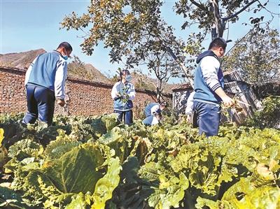 平谷黄松峪中学学生们正在菜地里浇灌大白菜、除草