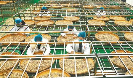 宕昌县药材加工企业带动当地群众在家门口务工增收 新甘肃·甘肃日报通讯员 刘辉
