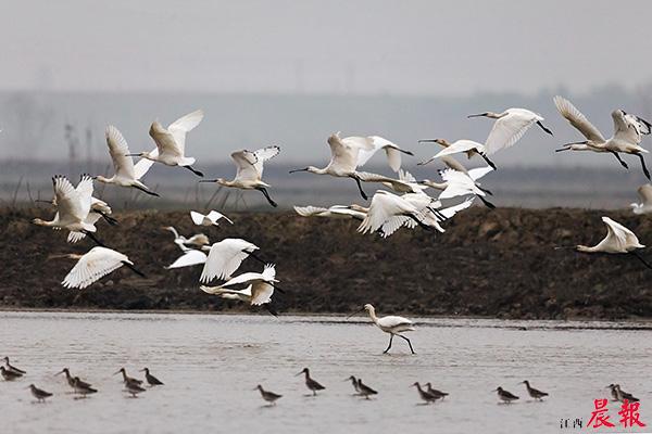▲吴城候鸟小镇每年都吸引数以万计的候鸟来此越冬。