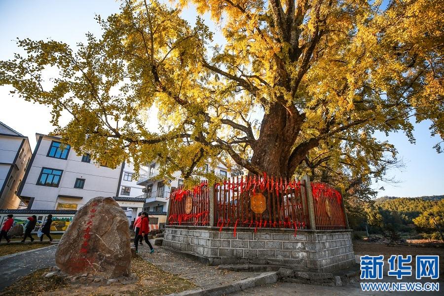 位于南昌市湾里管理局太平村的古银杏树。新华网发 王迪川 摄