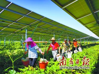 始兴县将光伏发电与荒山改良综合利用结合起来,发展农光互补模式。当地农户因地制宜,种植南瓜、西瓜、番薯等低矮作物。图为南瓜丰收。赖金艳 摄