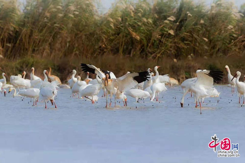 鄱阳湖是世界最大的候鸟越冬栖息地,也是世界最大的白鹤和白鹳群体越冬所在地,图为冬季在鄱阳湖越冬的候鸟。永修县委宣传部供图