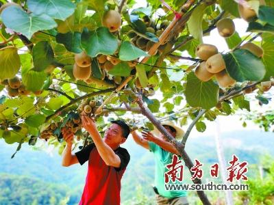 始兴县澄江镇大力发展有机水果种植,图为猕猴桃收获时节,工人们每天要趁太阳未出、暑气未上的时候进行采摘。 赖金艳 摄