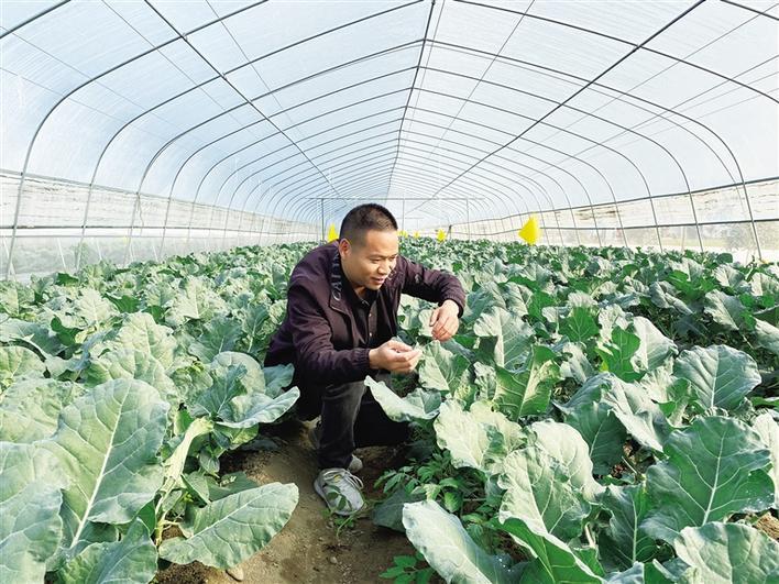 在安康市汉阴县涧池镇,脱贫群众陈兴松正在管护大棚里的蔬菜。