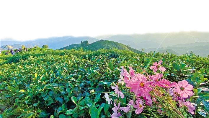 在安康市平利县老县镇蒋家坪村,种茶已成为当地群众增收致富的重要手段。