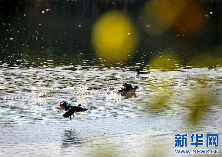 都昌:野生水鸟嬉戏越冬(图)