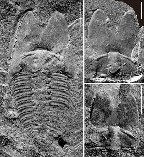耳形范特西虫(Phantaspis auritus)的较完整背壳(左)及头盖标本(右)